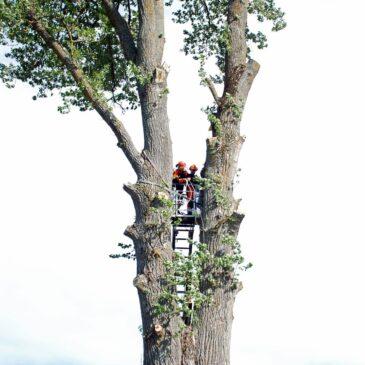 Fällning av Leksands högsta träd